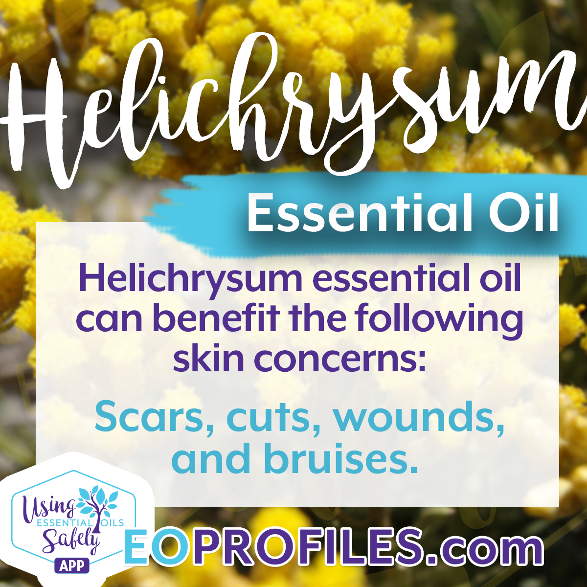 Benefits of Helichrysum Essential Oil | Using Essential Oils